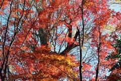 Hojas de Autumn Maple del japonés del paisaje Fotografía de archivo