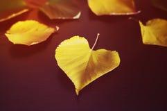 Hojas de Autumn Yellow Maple en el tablero de madera negro Imágenes de archivo libres de regalías
