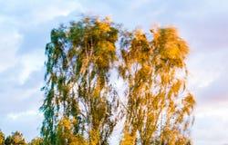 Hojas de balanceo del árbol de abedul en viento Foto de archivo