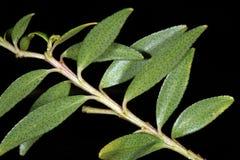 Hojas de Buchu (crenulata de Agathosma), una medicina herbaria popular de Suráfrica Foto de archivo