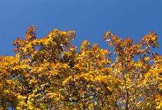 Hojas de descoloramiento amarillas del árbol Imagen de archivo