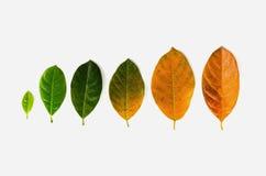 Hojas de diversa edad del árbol frutal del enchufe en el fondo blanco c imagen de archivo