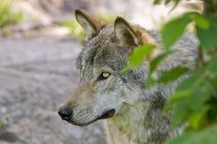 Hojas de Gray Wolf In Summer Behind Green fotos de archivo