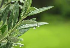 Hojas de la aceituna verde Fotos de archivo