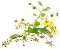 Hojas de la alheña con la fruta y la flor imágenes de archivo libres de regalías