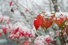 Hojas de la caída cubiertas en nieve Imagen de archivo libre de regalías