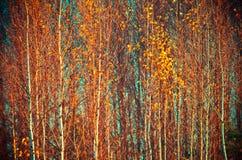 Hojas de la caída de los árboles de abedul Foto de archivo libre de regalías