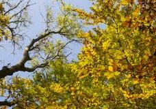 Hojas de la caída del otoño en árboles Fotografía de archivo libre de regalías