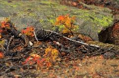 Hojas de la caída en la montaña de COLORADO Fotografía de archivo libre de regalías