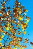 Hojas de la caída en un árbol Fotos de archivo