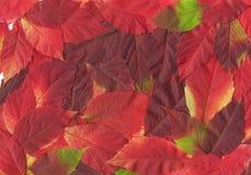 Hojas de la caída. Textura natural Foto de archivo libre de regalías
