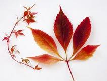 Hojas de la caída y de otoño en una colección blanca del fondo Imagen de archivo