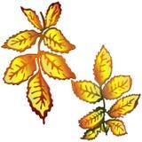 Hojas de la cadera color de rosa del amarillo del otoño del vector Follaje floral del jardín botánico de la planta de la hoja Ele Imagenes de archivo