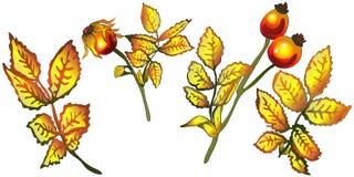 Hojas de la cadera color de rosa del amarillo del otoño del vector Follaje floral del jardín botánico de la planta de la hoja Ele Imagen de archivo libre de regalías