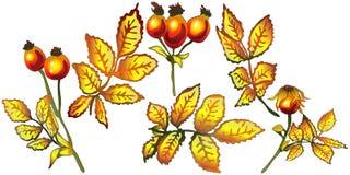 Hojas de la cadera color de rosa del amarillo del otoño del vector Follaje floral del jardín botánico de la planta de la hoja Ele Foto de archivo
