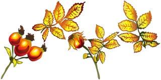 Hojas de la cadera color de rosa del amarillo del otoño del vector Follaje floral del jardín botánico de la planta de la hoja Ele Imagen de archivo