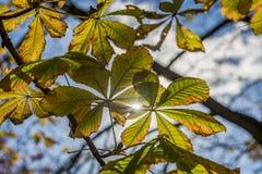 Hojas de la castaña del otoño Fotos de archivo libres de regalías