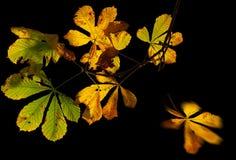hojas de la castaña en otoño Imagen de archivo libre de regalías