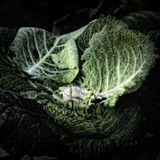 Hojas de la col en un montón del estiércol vegetal Imágenes de archivo libres de regalías