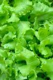 Hojas de la ensalada verde fresca. Fotografía de archivo libre de regalías