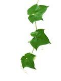 Hojas de la familia de plantas del pepino Imagen de archivo libre de regalías