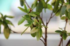Hojas de la flor de la azalea Imagenes de archivo
