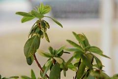 Hojas de la flor de la azalea Foto de archivo libre de regalías