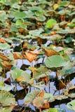 Hojas de la flor de loto en la charca Imagen de archivo