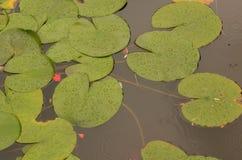 Hojas de la flor de Lotus en la charca del lilypad Imágenes de archivo libres de regalías