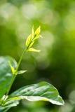 Hojas de la flor del jazmín Fotos de archivo