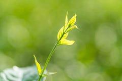 Hojas de la flor del jazmín Foto de archivo libre de regalías