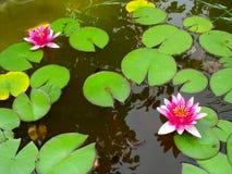 Hojas de la flor y del verde de loto del lirio de agua roja Foto de archivo