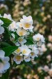 Hojas de la flor y del verde del jazmín Imagenes de archivo