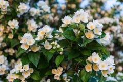 Hojas de la flor y del verde del jazmín Foto de archivo libre de regalías