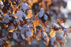 Hojas de la haya con nieve Imagen de archivo libre de regalías