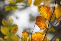 Hojas de la haya del otoño Fotografía de archivo libre de regalías
