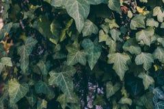 Hojas de la hiedra en fondo del tronco de árbol Textura y fondo salvajes de la hiedra para el diseño Textura de las hojas verdes  Fotos de archivo libres de regalías