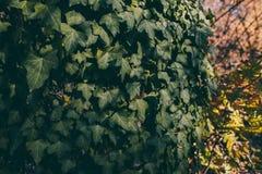 Hojas de la hiedra en fondo del tronco de árbol Textura y fondo salvajes de la hiedra para el diseño Textura de las hojas verdes  Fotos de archivo