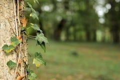Hojas de la hiedra en un tronco de árbol Imagen de archivo libre de regalías