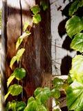 Hojas de la hiedra en un tronco de madera Fotos de archivo