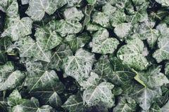 Hojas de la hiedra salvaje con las gotas de agua Imagen de archivo libre de regalías