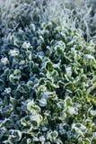 Hojas de la hierba cubiertas con helada Foto de archivo libre de regalías