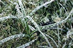 Hojas de la hierba cubiertas con nieve Imágenes de archivo libres de regalías