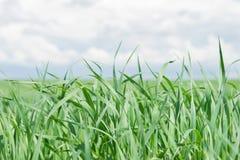 Hojas de la hierba verde en el cielo azul del fondo Fotografía de archivo libre de regalías