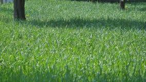Hojas de la hierba verde en el viento almacen de metraje de vídeo