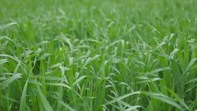 Hojas de la hierba verde en el viento almacen de video