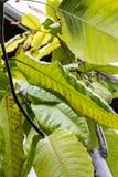 Hojas de la hoja del árbol largo del mulat de Juan del surinamensis del polygonaceae de los triplaris de Suriname Imagenes de archivo