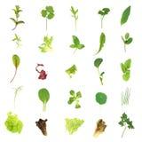 Hojas de la lechuga y de la hierba de la ensalada Foto de archivo libre de regalías
