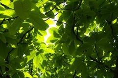Hojas de la magnolia Imagen de archivo libre de regalías