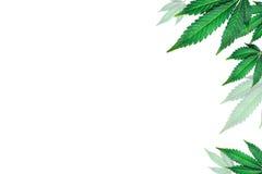 Hojas de la marijuana Imagenes de archivo